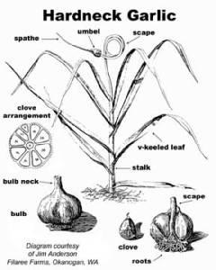 garlic-hardneck-drawing